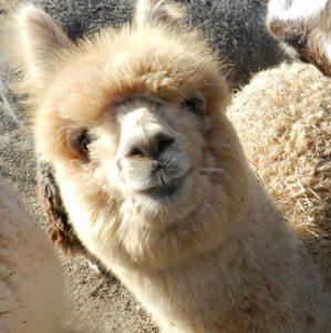 alpaca for web